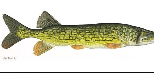 Pickler Fish